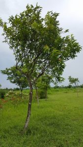 bignay-tree-in-nuvali-576x1024